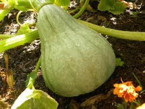 Cooks Garden Seeds by Mini Blue Hubbard Squash Lou Murray S Green World