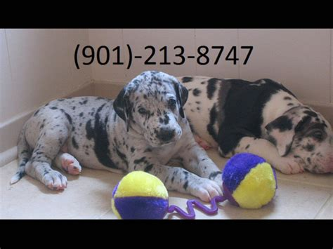 great dane puppies for sale in ma excellent harlequin merlequin and black great dane puppies for sale animals