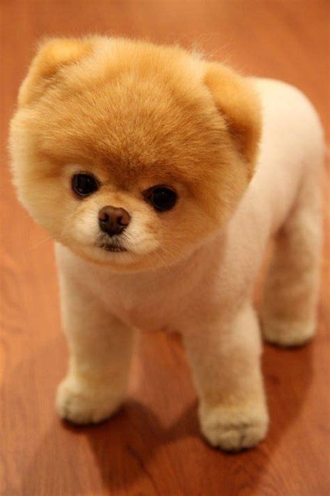 pomeranian puppies that look like teddy bears the appreciation club formerly known as 5 d page 2 the sims forums
