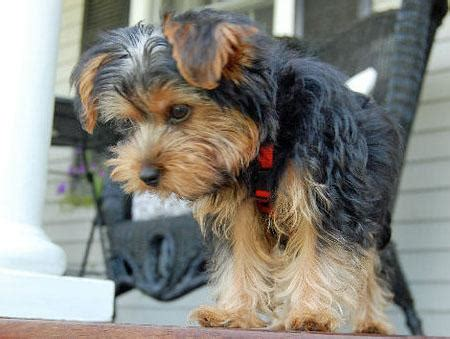 yorkie haircuts with floppy ears do yorkies floppy ear apartment dogs breeds adapts well to apartment living