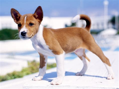 basenji mix puppies can you give me some information about my puppy from his pics