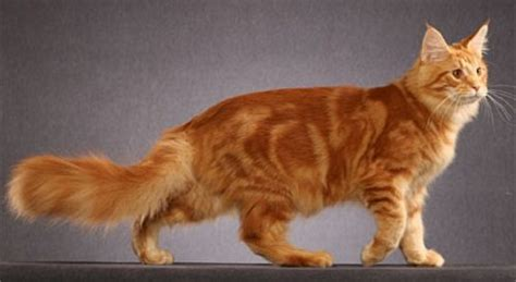 red light for cats get all the answers to your questions about orange cats