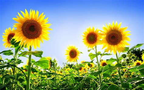 sunflower wallpapers natural sunflower wallpapers image