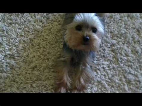 are yorkies hyper silicone newborn yorkie puppy by ping lau funnycat tv