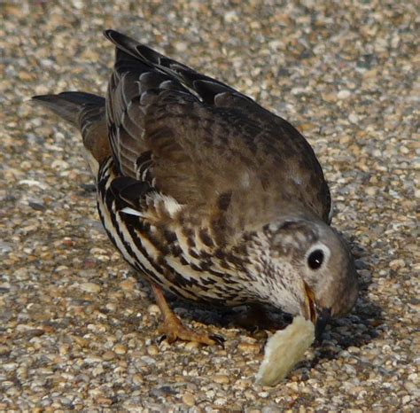 song thrush eating picture