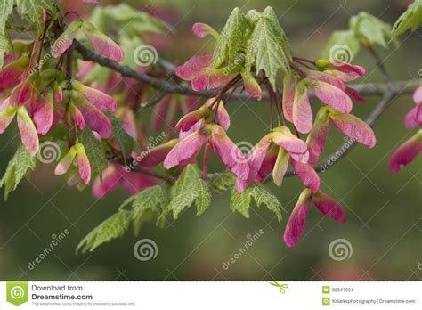 maple tree pink winged seeds stock images image