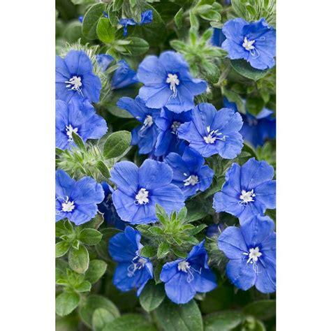 blue my proven winners blue my mind morning evolvulus