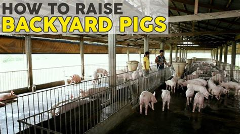 Backyard Cattle Raising by How To Raise Pigs Atlas Feeds Backyard Farms