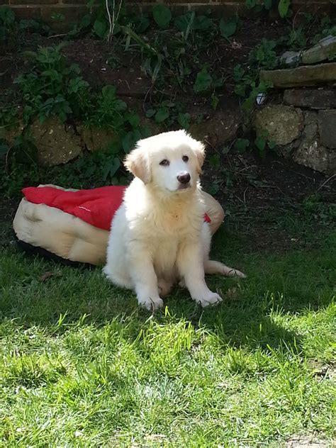 white golden retriever puppies for sale uk golden retriever dogs and puppies for sale in the uk buy design bild