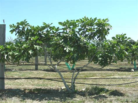 fruit tree supplies fig mrs williams