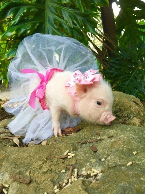 Cute Teacup Pigs In Tutus   www.pixshark.com   Images