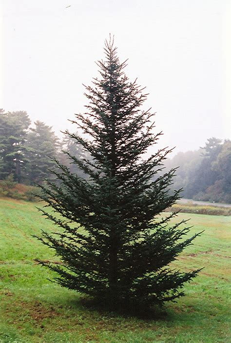 fraser fir abies fraseri in inver grove heights