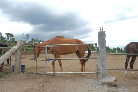 Sho Kuda Malang satu satunya di kota batu ulasan peternakan kuda jalibar