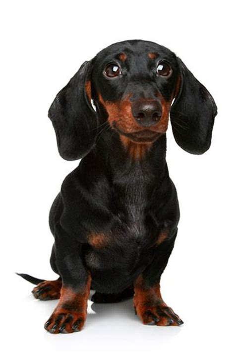 miniature dachshund puppies for sale in iowa the world s catalog of ideas
