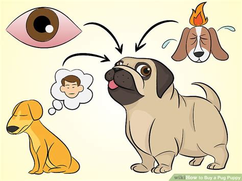 how to buy a pug how to buy a pug puppy 15 steps with pictures wikihow