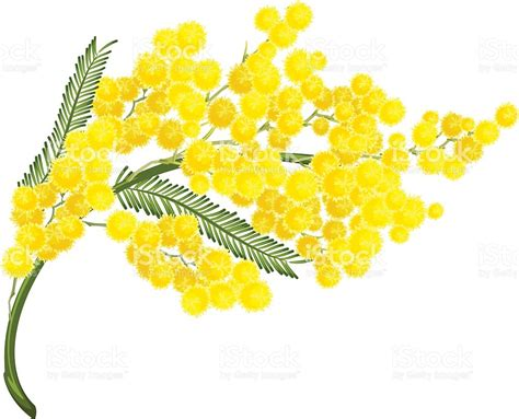 mimosa clipart yellow mimosa flower mimosa flower symbol of womens day