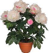 peonie in vaso peonie in vaso confronta prezzi e offerte e risparmia