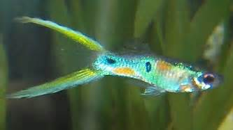 Neon Endler X Double Swordtail Male