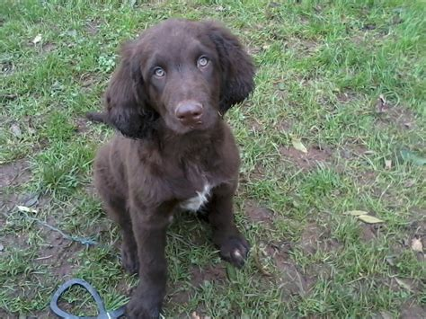 german hair puppy 1000 images about german longhaired pointer on