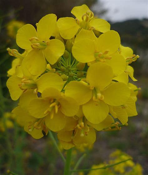 Uv Ls For Plants by Brassica Rapa Flower
