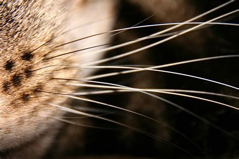 do whiskers grow back do a cat s whiskers grow back cat curious
