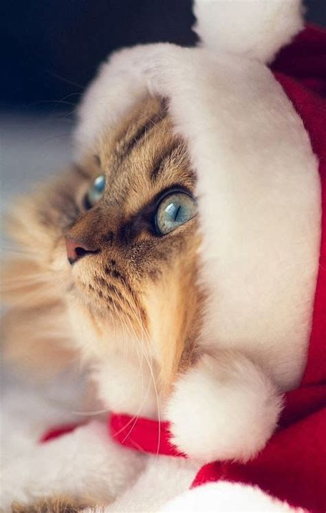 tiny kittens dressed  iconic fantasy characters    tiny kittens christmas cats