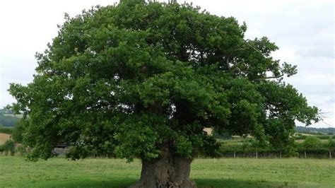 the company of trees a year in a lifetimeâ s quest books brimmon oak second in european tree of the year 2017