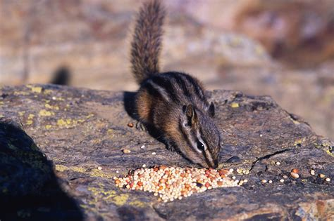 chipmunk eating bird seed