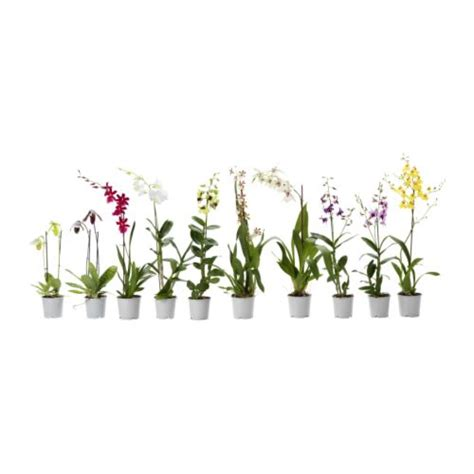 vasi per orchidee ikea orchidaceae pianta da vaso ikea