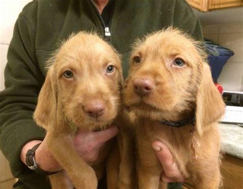 dogs 101 vizsla wirehaired vizsla info temperament puppies pictures