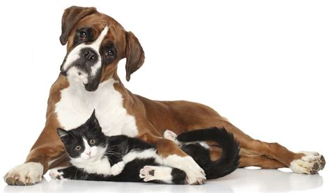 cat and dogs meet the miniature boxer a mix breed of boxer and boston terrier
