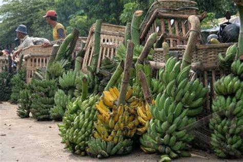 Sisir Tanduk gambar pisang ambon related keywords gambar pisang ambon keywords keywordsking