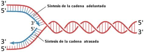 cadenas abiertas definicion adn y gen 233 tica molecular