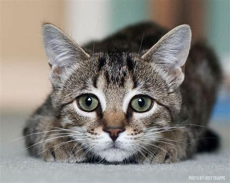 Diskon Maries Orange Cat Acrylic pet of the week tabby cat