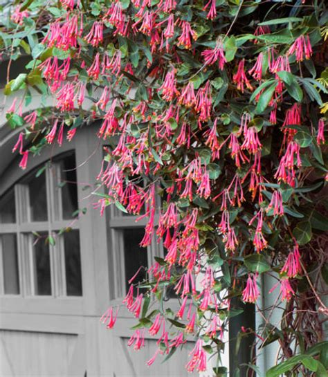 fast growing climbing plants for fences landscaping cape town professional landscaping services
