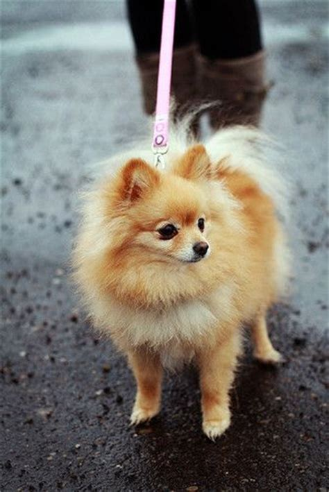 what are pomeranians like pomeranian petsync