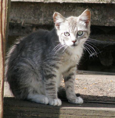 silver tabby kitten season       flickr