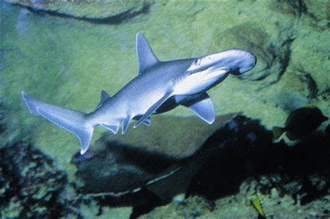 Small Sharks In Home Aquarium The Bonnethead Shark Sphyrna Tiburo Is It Suitable For