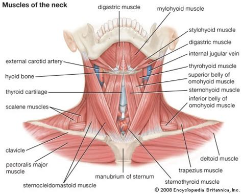 glands in the neck and throat diagram glands in the neck and throat diagram anatomy organ