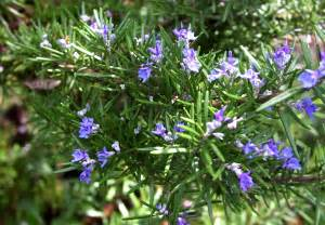 23 fun facts about rosemary plants