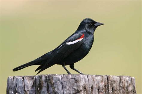 tri colored blackbird tricolored blackbird ebirdr