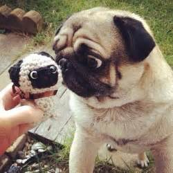 minature pug pug vs mini pug dogs picture