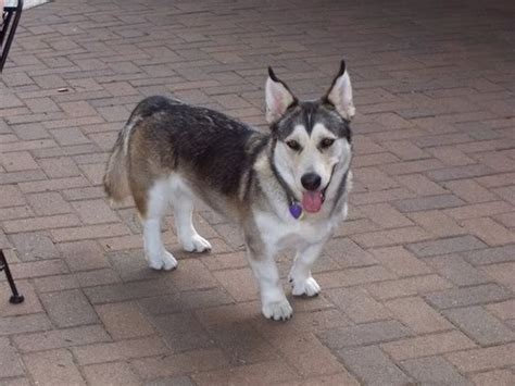 corgi husky mix puppies corgi siberian husky puppies