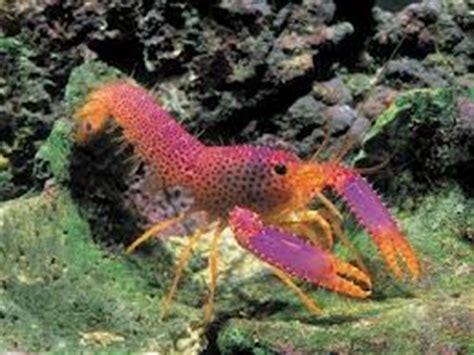 lobster ocean lobster marine aquarium lobster saltwater
