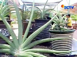 sehat sansiviera tanaman hias antipolutan