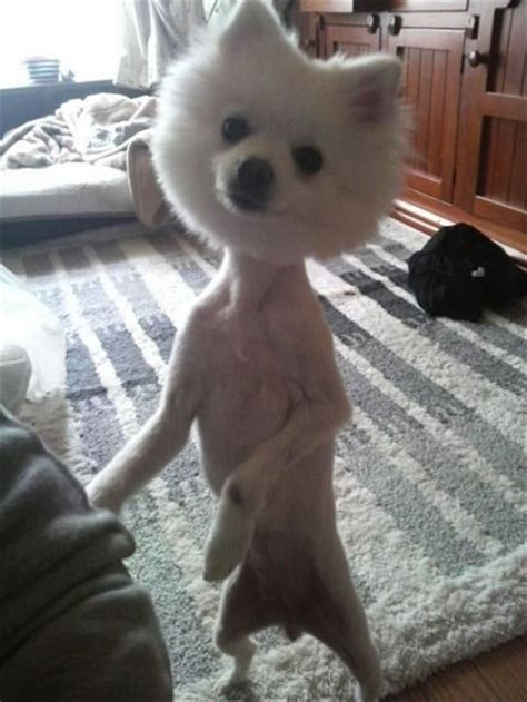 pomaradian french hair cut dogs with funny bad haircuts that are just ridiculous