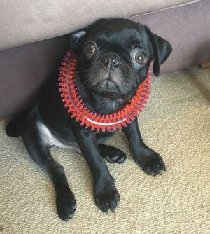 pug puppy sydney you seen egg pet pug stolen in olympic park mugging