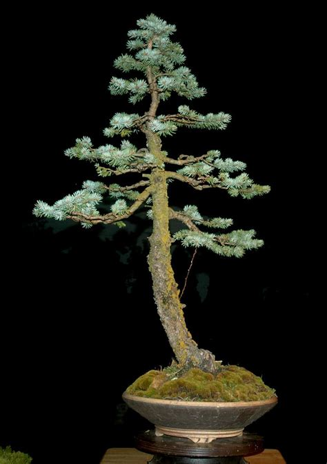 colorado blue spruce bonsai google search vance wood