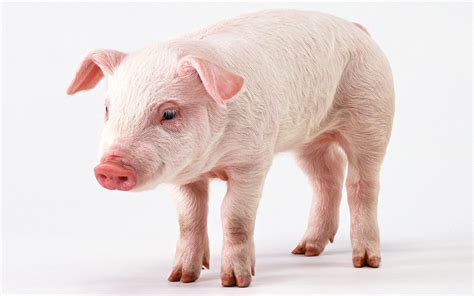 pig and pigs and hogs history and some interesting facts