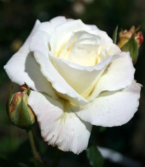 long stemmed rose hybrid tea white lightnin mm pot
